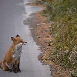 ロードキル~野生動物との交通事故を起こしてしまったら